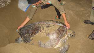 trip to turtle conservation in sukamade